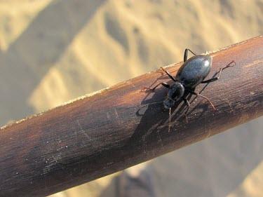 Tentyrina palmeri Coleoptera,IUCN Red List,Africa,Desert,Terrestrial,Animalia,Asia,Tentyrina,Arthropoda,Not Evaluated,Tenebrionidae,Insecta