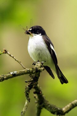 Male pied flycatcher with damselfly prey Feeding,Adult,Adult Male,Passeriformes,Wildlife and Conservation Act,Species of Conservation Concern,Europe,Carnivorous,Animalia,hypoleuca,Africa,Muscicapidae,Broadleaved,Ficedula,Asia,Chordata,Aves,A