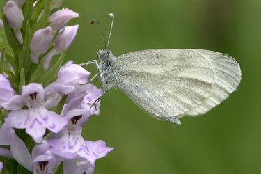 Wood white butterfly on common spotted orchid Terrestrial,Temperate,Arthropoda,Herbivorous,Asia,Scrub,Species of Conservation Concern,Animalia,Lepidoptera,Fluid-feeding,Pieridae,Europe,Leptidea,Flying,Agricultural,Insecta