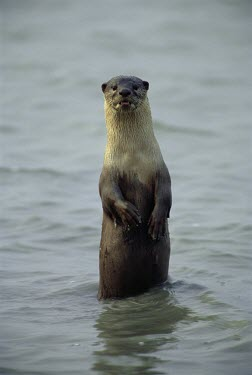 Smooth-coated otter standing on hind legs in river, on alert Survival Adaptations,Adult,Chordates,Chordata,Mammalia,Mammals,Carnivores,Carnivora,Weasels, Badgers and Otters,Mustelidae,Carnivorous,Appendix II,perspicillata,Terrestrial,Ponds and lakes,Streams and