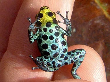Zimmermanns poison frog, ventral view Adult,Appendix II,Arboreal,Omnivorous,South America,Amphibia,Chordata,Anura,Ranitomeya,Terrestrial,Tropical,Fresh water,Forest,Animalia,Temporary water,Dendrobatidae,variabilis,Data Deficient,CITES,IU
