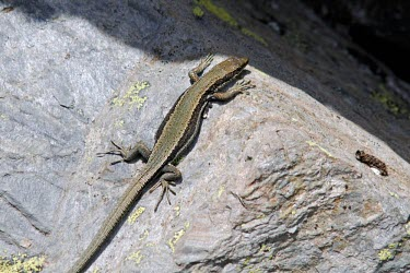 Aurelio's rock lizard basking on side of rock Adult,Endangered,Terrestrial,aurelioi,Animalia,Chordata,Reptilia,Squamata,Temperate,Lacertidae,Europe,Iberolacerta,IUCN Red List