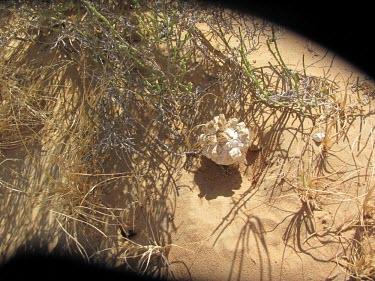 Desesrt truffle fruiting body Fruiting body,Pezizaceae,Europe,Terrestrial,Tirmania,Ascomycota,Pezizales,Asia,Desert,Subterranean,Fungi,Lecanoromycetes,Africa,Saprophytic