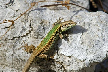 Male Skyros wall lizard Adult Male,Adult,Europe,Terrestrial,Omnivorous,Animalia,Vulnerable,Squamata,Rock,Lacertidae,Chordata,Scrub,Podarcis,Reptilia,IUCN Red List