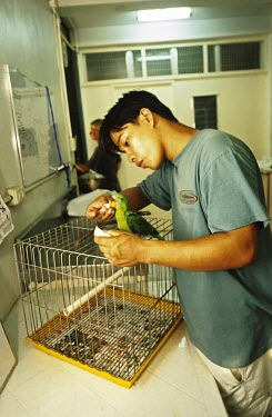A juvenile blue-naped parrot rescued from an illegal pet trade seller being reared in captivity Fledgling,Threats to existence,Aves,Birds,Parakeets, Macaws, Parrots,Psittacidae,Chordates,Chordata,Parrots,Psittaciformes,lucionensis,Near Threatened,Terrestrial,Tanygnathus,Arboreal,Animalia,Asia,He