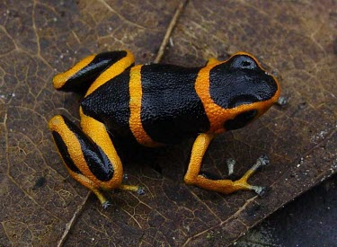 Summers poison frog on leaf Adult,Anura,Endangered,South America,Aquatic,Fresh water,Dendrobatidae,Arboreal,Animalia,Terrestrial,Amphibia,Forest,Chordata,Mountains,Ranitomeya,IUCN Red List,Rock
