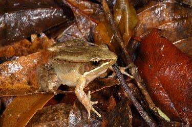 Ryukyu brown frog in leaf litter Adult,IUCN Red List,Chordata,Grassland,Fresh water,Forest,Aquatic,Tropical,Wetlands,Asia,Anura,Endangered,Ranidae,Terrestrial,Babina,Animalia,Amphibia,Sub-tropical