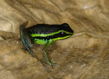 Emerald poison frog Survival Adaptations,Adult,Defence behaviours,Camouflage,Amphibia,Aquatic,Fresh water,Dendrobatidae,Tropical,Forest,Terrestrial,Animalia,IUCN Red List,Anura,Streams and rivers,Rainforest,Chordata,Amee
