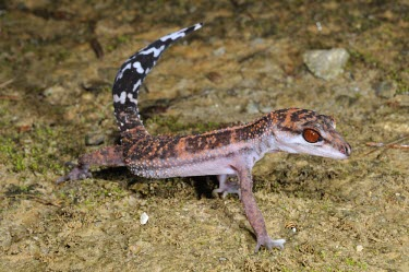 Kuroiwa's ground gecko (G.k.orientalis), lateral view Adult,Carnivorous,Terrestrial,IUCN Red List,Goniosaurus,Chordata,Sub-tropical,Reptilia,Forest,Asia,Gekkonidae,Animalia,Squamata,Endangered