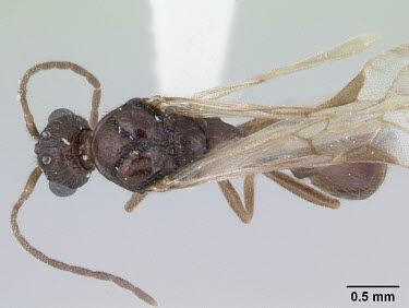 Male Harpagoxenus sublaevis specimen, dorsal view IUCN Red List,Harpagoxenus,Terrestrial,Arthropoda,Animalia,Insecta,Hymenoptera,Vulnerable,Europe,Formicidae