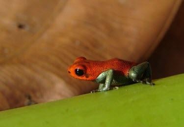 Ranitomeya sirensis Adult,Ranitomeya,Terrestrial,South America,Anura,Animalia,Endangered,CITES,Dendrobatidae,IUCN Red List,sirensis,Tropical,Appendix II,Forest,Chordata,Amphibia