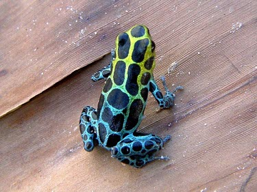 Zimmermanns poison frog Adult,Appendix II,Arboreal,Omnivorous,South America,Amphibia,Chordata,Anura,Ranitomeya,Terrestrial,Tropical,Fresh water,Forest,Animalia,Temporary water,Dendrobatidae,variabilis,Data Deficient,CITES,IU