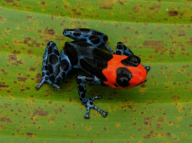 Blessed poison frog, dorsal view Adult,Tropical,South America,Chordata,Sub-tropical,Terrestrial,IUCN Red List,Carnivorous,Anura,Aquatic,Amphibia,Fresh water,Ranitomeya,Forest,Vulnerable,Animalia,Dendrobatidae