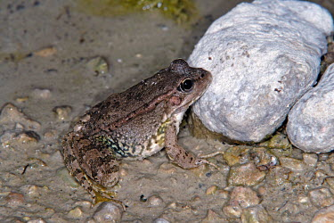 Cretan frog showing colour variation Adult,Streams and rivers,Fresh water,Aquatic,Ranidae,Wetlands,Terrestrial,Anura,cretensis,Chordata,Ponds and lakes,Pelophylax,Animalia,Europe,Amphibia,Endangered,IUCN Red List