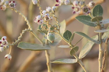 Calotropis procera flowers and developing fruit Habitat,Deserts,Leaves,Mature form,Species in habitat shot,Fruits or berries,Flower,Not Evaluated,Photosynthetic,Asia,Terrestrial,Magnoliopsida,Gentianales,Tracheophyta,Plantae,Calotropis,Asclepiadace