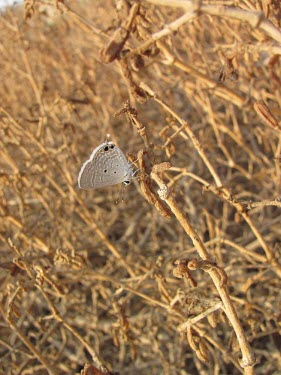 Indian cupid on vegetation Lycaenidae,Common,Terrestrial,Fluid-feeding,Insecta,Arthropoda,Animalia,Lepidoptera,Savannah,Chilades,Asia