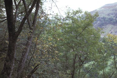 Sorbus leyana Mature form,Magnoliopsida,Photosynthetic,Plantae,Rosaceae,Anthophyta,Sorbus,Europe,Rosales,Terrestrial,Broadleaved