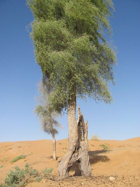 Ghaf tree in desert Deserts,Species in habitat shot,Habitat,Mature form,Terrestrial,Asia,Fabales,Photosynthetic,Not Evaluated,Tracheophyta,Fabaceae,Prosopis,Magnoliopsida,Plantae