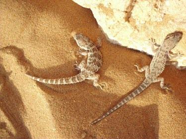 Baluch ground geckos Adult,Squamata,Semi-desert,Bunopus,Reptilia,Not Evaluated,Gekkonidae,Carnivorous,Terrestrial,Rock,Animalia,Desert,Chordata,Sand-dune,Asia,IUCN Red List,Least Concern