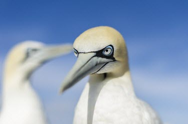 Portrait of an adult Cape Gannet Adult,Terrestrial,Sulidae,Shore,Carnivorous,Atlantic,Aves,Ocean,Indian,Vulnerable,Africa,Coastal,Flying,Pelecaniformes,Chordata,Animalia,Morus,capensis,IUCN Red List