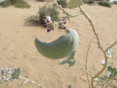 Calotropis procera flowers with seed pod Seeds,Mature form,Flower,Habitat,Species in habitat shot,Not Evaluated,Photosynthetic,Asia,Terrestrial,Magnoliopsida,Gentianales,Tracheophyta,Plantae,Calotropis,Asclepiadaceae