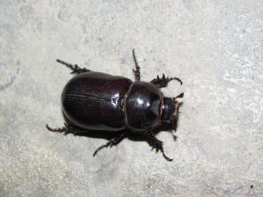 Elegant rhinoceros beetle, female Oryctes,Animalia,Asia,Not Evaluated,Dynastidae,Insecta,Terrestrial,Arthropoda,IUCN Red List,Coleoptera