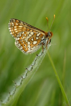 Marsh fritillary butterfly Heathland,Insecta,Temperate,STAT_HD,Arthropoda,Asia,Lepidoptera,Euphydryas,Fluid-feeding,Wildlife and Conservation Act,Flying,Animalia,Europe,Nymphalidae