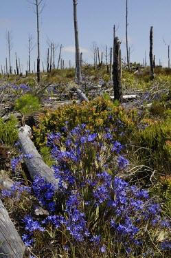 Nivenia stokoei in habitat with dead burnt trees Habitat,Species in habitat shot,Mature form,Terrestrial,Iridaceae,Plantae,Magnoliopsida,Photosynthetic,Nivenia,Tracheophyta,Africa,Liliales