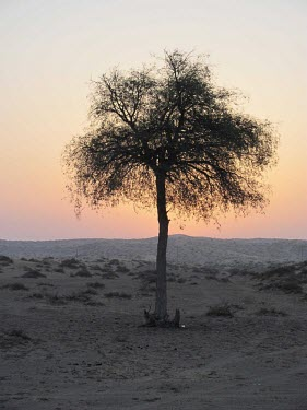 Ghaf tree Deserts,Species in habitat shot,Mature form,Habitat,Terrestrial,Asia,Fabales,Photosynthetic,Not Evaluated,Tracheophyta,Fabaceae,Prosopis,Magnoliopsida,Plantae