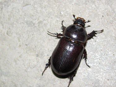 Female elegant rhinoceros beetle Oryctes,Animalia,Asia,Not Evaluated,Dynastidae,Insecta,Terrestrial,Arthropoda,IUCN Red List,Coleoptera