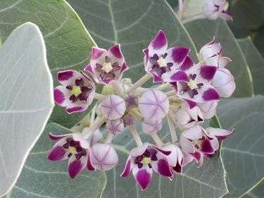 Calotropis procera flower Flower,Not Evaluated,Photosynthetic,Asia,Terrestrial,Magnoliopsida,Gentianales,Tracheophyta,Plantae,Calotropis,Asclepiadaceae