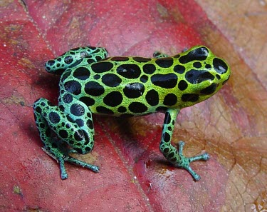 Zimmermanns poison frog on a leaf Adult,Appendix II,Arboreal,Omnivorous,South America,Amphibia,Chordata,Anura,Ranitomeya,Terrestrial,Tropical,Fresh water,Forest,Animalia,Temporary water,Dendrobatidae,variabilis,Data Deficient,CITES,IU