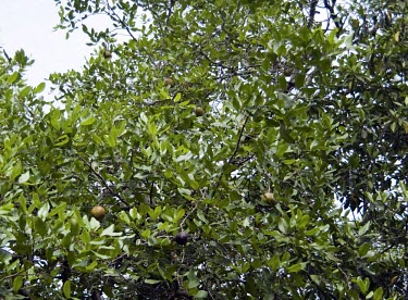 Dhundal tree with fruits Leaves,Mature form,Fruits or berries,Magnoliopsida,Plantae,Forest,Terrestrial,Least Concern,Africa,Tropical,Australia,Photosynthetic,Tracheophyta,Meliaceae,Sapindales,IUCN Red List,Asia,Xylocarpus