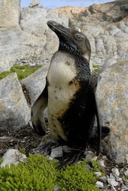 African penguin covered in oil Adult,Pollution,Threats to existence,Spheniscus,Carnivorous,Sphenisciformes,Rock,Terrestrial,demersus,Aves,Ocean,Endangered,Chordata,Africa,Coastal,Animalia,Convention on Migratory Species (CMS),Appen