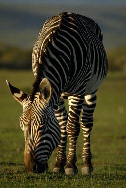 Cape mountain zebra grazing Adult,Feeding behaviour,Feeding,Equus,Terrestrial,Semi-desert,zebra,Vulnerable,Equidae,Mountains,Herbivorous,Africa,Appendix II,Mammalia,Chordata,Appendix I,Perissodactyla,Animalia,IUCN Red List