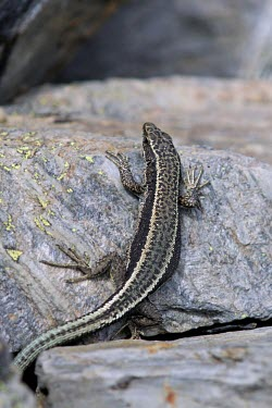 Aurelio's rock lizard gripping to a rock, upright position Adult,Endangered,Terrestrial,aurelioi,Animalia,Chordata,Reptilia,Squamata,Temperate,Lacertidae,Europe,Iberolacerta,IUCN Red List