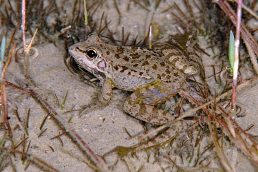 Cretan frog in shallow pool How does it live ?,Adult,Amphibious,Streams and rivers,Fresh water,Aquatic,Ranidae,Wetlands,Terrestrial,Anura,cretensis,Chordata,Ponds and lakes,Pelophylax,Animalia,Europe,Amphibia,Endangered,IUCN Red