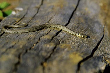 Juvenile grass snake on log Young,Reptilia,Reptiles,Colubridae,Advanced Snakes,Squamata,Lizards and Snakes,Chordates,Chordata,Temperate,Common,Streams and rivers,Aquatic,Agricultural,Urban,Europe,Ponds and lakes,Carnivorous,Terr