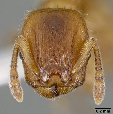 Worker Harpagoxenus canadensis specimen, head detail Ants,Formicidae,Sawflies, Ants, Wasps, Bees,Hymenoptera,Insects,Insecta,Arthropoda,Arthropods,Wetlands,Animalia,Terrestrial,Vulnerable,Forest,North America,IUCN Red List,Harpogoxenus
