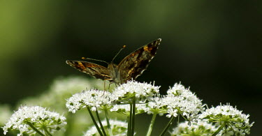 Butterfly on flower Butterfly,pretty,green,leaf,perching,insect,Odonata,flower,pollinator,Environment