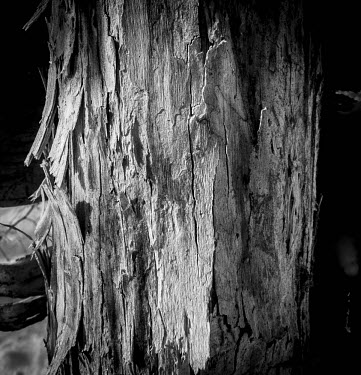 Spruce tree decaying Spruce,trees,plants,decaying,arty,black and white,bark,peeling,dying