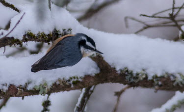 Red-breasted nuthatch in snow Birds,aves,colourful,male,snow,perching,winter,cold,Nuthatches,Sittidae,Aves,Chordates,Chordata,Perching Birds,Passeriformes,Flying,North America,Sitta,Animalia,Terrestrial,South America,IUCN Red List