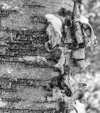 White birch tree Trees,peeling,bark,black and white,dark,close up,texture,Fagales,Magnoliophyta,Flowering Plants,Magnoliopsida,Dicots,Betulaceae,Birch Family,Terrestrial,Tracheophyta,Broadleaved,Temperate,Forest,North