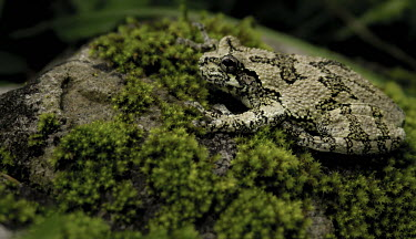 Eastern grey treefrog sitting on moss-covered rock Eastern grey treefrog,amphibian,frogs,texture,moss,rough skin,sitting,rock,Chordates,Chordata,Anura,Frogs and Toads,Amphibians,Amphibia,Hylidae,Hylids,Ponds and lakes,Least Concern,Temperate,Temporary