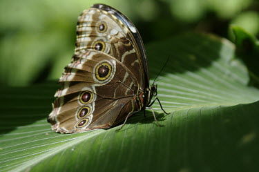 Butterfly on leaf Butterfly,pretty,green,leaf,perching,insect,Odonata,Conservation