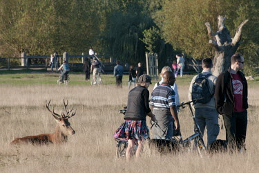 Red deer stag sitting in grass amongst people in Richmond Park, London, UK. Park,animal,autumn,britain,busy,deer,dogs,grassland,humans,mammal,nature,october,people,red,sitting,stag,tame,urban,wildlife,Even-toed Ungulates,Artiodactyla,Cervidae,Deer,Chordates,Chordata,Mammalia,