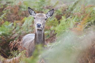 Red deer portrait, Richmond Park, London. Park,animal,autumn,bellowing,bird,britain,british,deer,england,english,fighting,london,morning,nature,october,red,richmond,rut,rutting,urban,wildlife,Even-toed Ungulates,Artiodactyla,Cervidae,Deer,Cho
