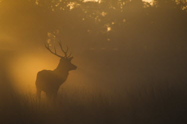 Red deer stag at sunrise in fog during rutting season, Richmond Park, London. Park,autumn,backlight,bellowing,breath,britain,british,dawn,deer,england,fog,great,mist,nature,red,rut,rutting,stag,stags,sunrise,urban,wildlife,Even-toed Ungulates,Artiodactyla,Cervidae,Deer,Chordate
