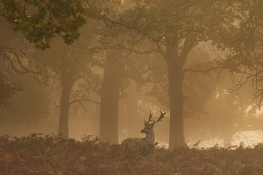 Fallow deer stag in mist, Richmond Park, London. Park,animal,animals,autumn,britain,british,dama,deer,england,fallow,fog,london,male,mist,nature,october,orange,richmond,rut,stag,uk,urban,wildlife,woodland,Even-toed Ungulates,Artiodactyla,Cervidae,De