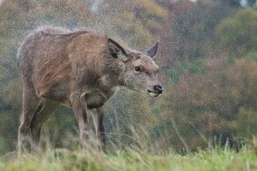 Red deer shaking off rain Park,animal,autumn,british,deer,mammal,nature,photography,precipitation,rain,raining,red,rut,shaking,urban,wildlife,Even-toed Ungulates,Artiodactyla,Cervidae,Deer,Chordates,Chordata,Mammalia,Mammals,S